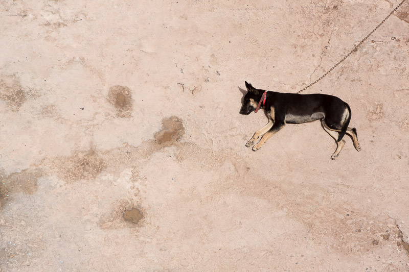 chained-wild-dog-sleeping-in-the-sun-morocco